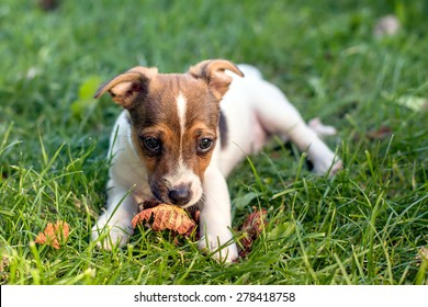 A young puppy with adoring eyes is laying on grass while sniffing on a dry autumn leaf