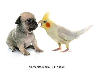 young puppy chihuahua and cockatiel in front of white background