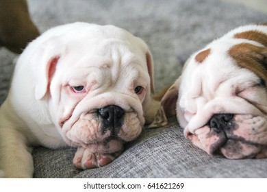 the young puppy of the English bulldog