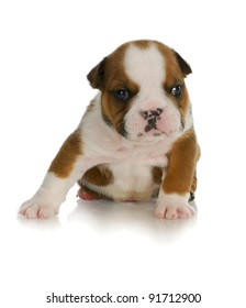 young puppy - four week old english bulldog puppy sitting with reflection on white background