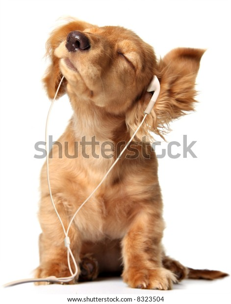 Young puppy listening to music on headphones.