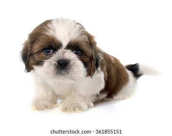 young puppy shitzu in front of white background