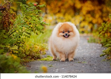 Young puppy Spitz is on the road in the autumn and looks at the camera