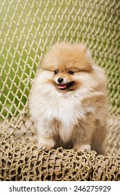 Young puppy Spitz posing at chain in summer