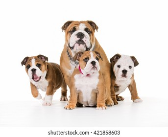 Young purebred dogs indoors in studio on white background.