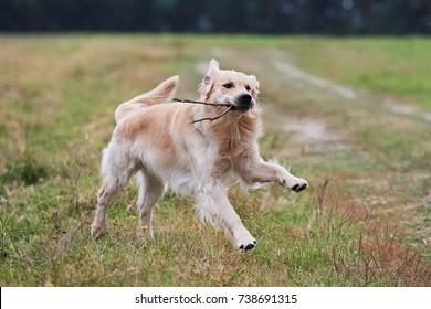 Young Purebred Golden Retriever fetching a stick
