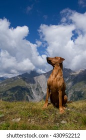 Young purebred red German Pinscher sitting attentively in the breathtakingly beautiful alpine landscape of the Hohe Tauern region of Tirol, Austria.