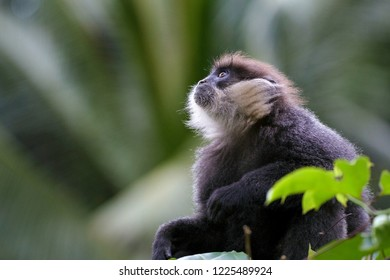 A young Purple Faced Langur (Trachypithecus vetulus) in the Sinharaja Forest Reserve, which is a UNESCO World Heritage Site and one of the last safe places for this critically endangered species.