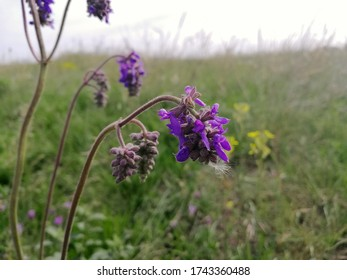 Young purple sage (Salvia nutans) on a spring meadow