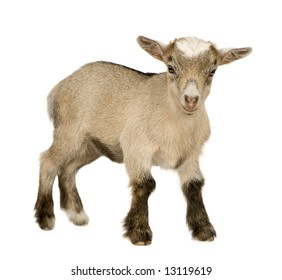 Young Pygmy goat in front of a white background