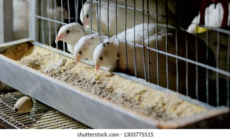Young quails eating in a cage on a farm. Feeding quails at poultry farm. Quails farming concept.