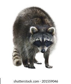 Young Raccoon Isolated On White Background