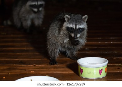 Young raccoon standing on two feet drinking from the kitty bowl at night. Second raccoon blurred in the background.