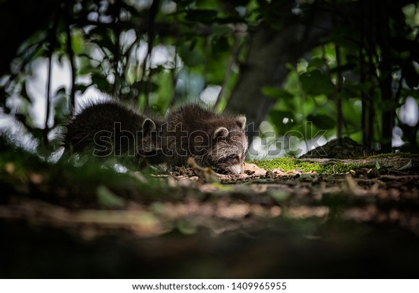 young-raccoon-wilderness-600w-1409965955