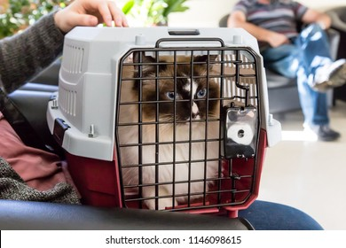 Young ragdoll cat at the vet in a cat carrier