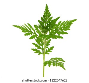 Young ragweed plant isolated on white, Ambrosia artemisiifolia