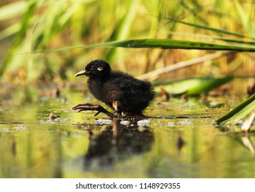 young rail in swamp