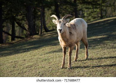 Young ram in the wild