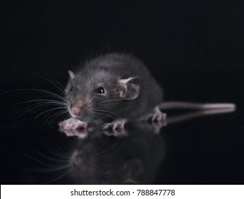young rat in front of black background