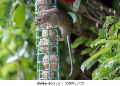 Young rat or mouse stealing food from garden bird feeder. Cute wildlife or vermin pest. Fat balls attracting uninvited rodent guest. Nature image of animal hanging from feeding station.