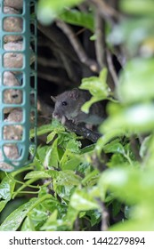 Young rat or vermin garden pest approaching garden bird fat ball feeder to feed. Country wildlife. Cute animal or rodent nuisance stealing food.  Nature UK. Selective focus on face.