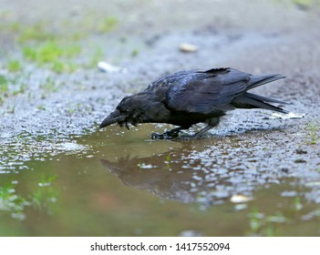 Young Raven drinking water out of paddle