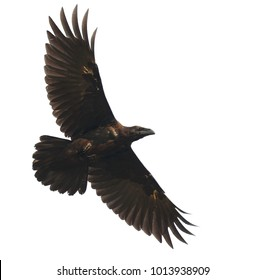 The young raven, lit by the sun, spread powerful wings in flight, isolated