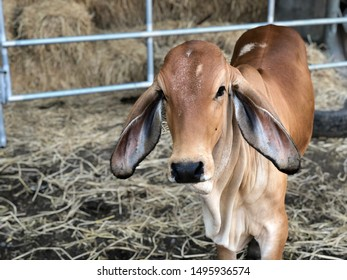 Young red brahman cow in farm.