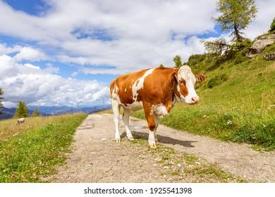Young red bull on the road in the Italian Alps. Italian Dolomites. Trentino Alto Adige