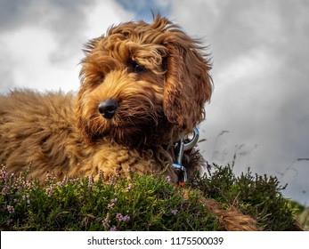 A young red Cockapoo puppy enjoying being on the open hillside in Scotland amongst the heather