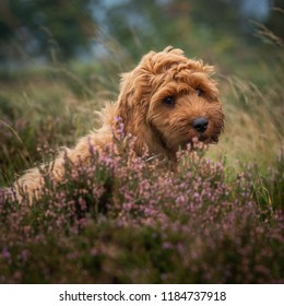 A young red Cockapoo puppy enjoying being amongst the heather in a local area