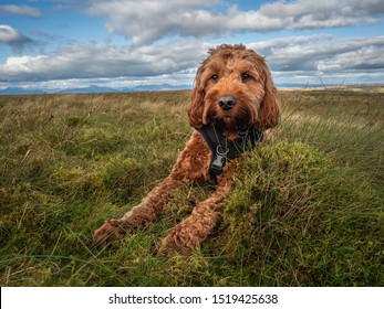 A young red Cockapoo puppy enjoying a rest from hillwalking in Scotland