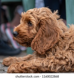 A young red cockapoo puppy lying relaxing on paving in the garden on a sunny day with a watching eye of activities nearby