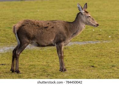 young Red Deer