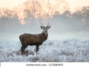 Young red deer buck standing in the frosted grass on an early cold winter morning, England. Animals in winter.