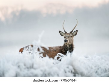 Young red deer buck standing deep in the frosted grass on an early cold winter morning, England. Animals in winter.