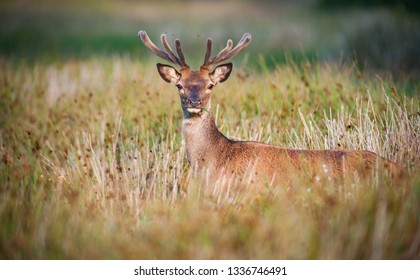 Young red deer grazing in a tall grass summer meadow, Killarney national park, Ireland