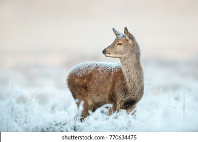 Young red deer hind standing deep in the frosted grass on an early cold winter morning, England. Animals in winter.