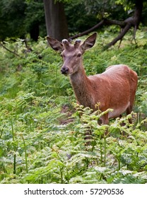 A young red deer on alert in the forest