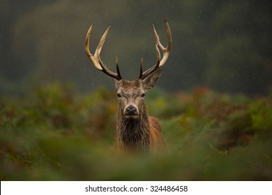 A young Red deer stag.