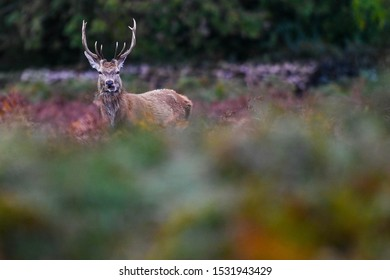 A young Red Deer stag stands in the undergrowth during the rut in Bradgate Park, Leicestershire.
