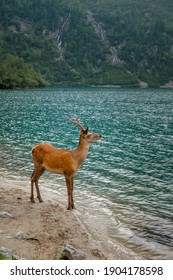 Young red deer stay near a mountain at Morskie Oko lake, High Tatras national park, Poland