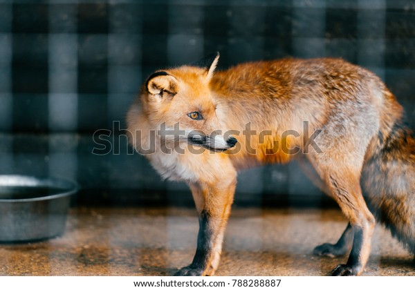 Young Red European Fox Baby Captivity Stock Photo (Edit Now) 788288887