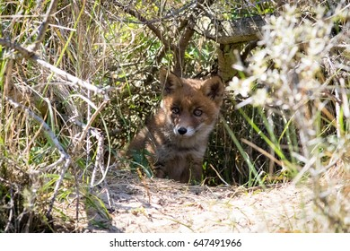 Young red fox in bushes