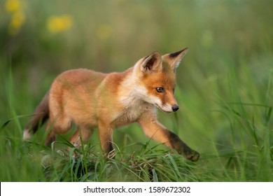 Young red Fox in grass on a beautiful light.