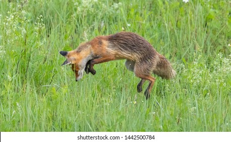 Young red fox hunting mice