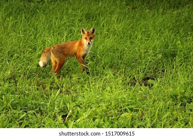 A young, red fox is hunting on the field in mice. A unique image of the surrounding nature and wild animals in their natural habitat