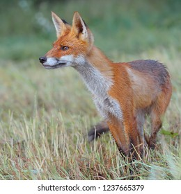 Young red fox looking for mice on meadow