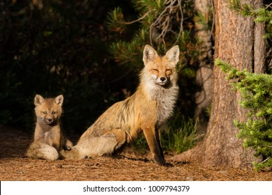 A young red fox sits with its mother safely tucked in her tail.