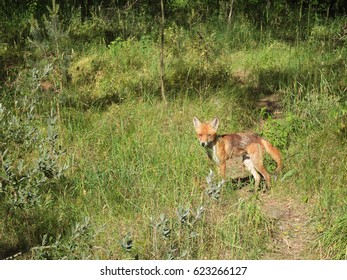 The young red fox in the summer forest in Curonian Spit, Russia.